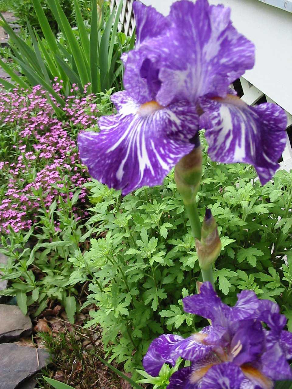 Batik iris 5-2002